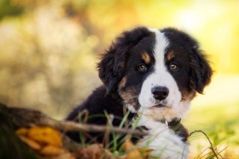 可爱的伯恩山犬