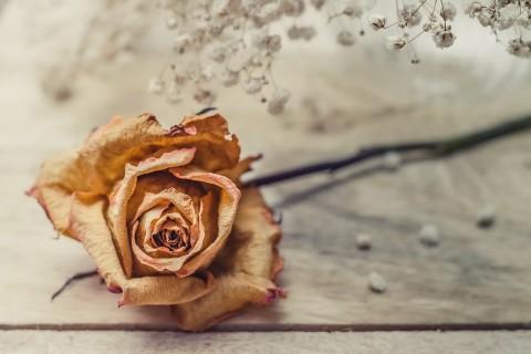 枯萎的玫瑰花