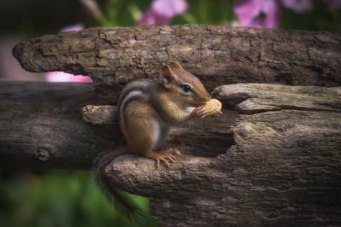 吃花生的花栗鼠
