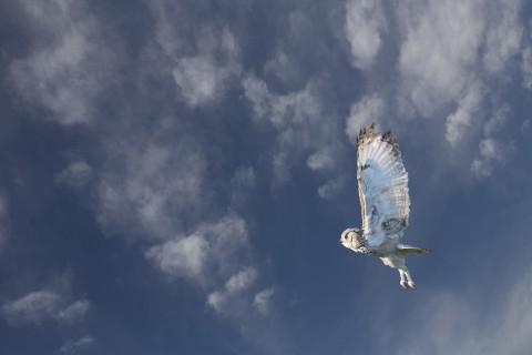 展翅飞翔的猫头鹰