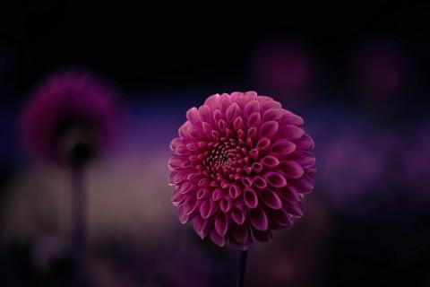 盛开的美丽大丽花