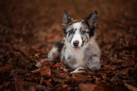 落叶中的边境牧羊犬