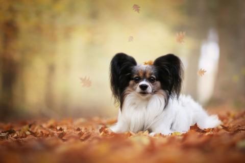 秋天里的蝴蝶犬