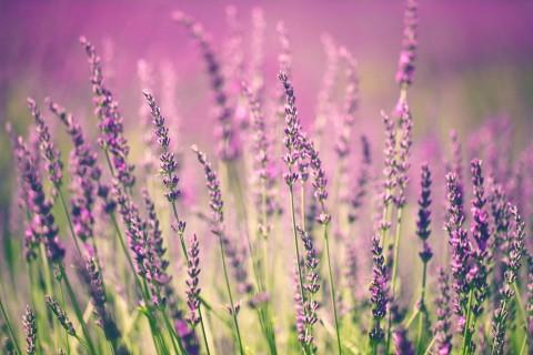 美丽淡紫色薰衣草