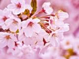 淡粉色樱花