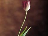 一朵郁金香