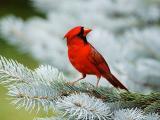 红衣主教鸟