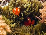 海底下的小丑鱼
