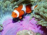 珊瑚丛中的小丑鱼