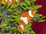 唯美小丑鱼