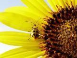 向日葵上的小昆虫