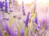 薰衣草花中的蜜蜂