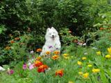 草丛中的萨摩