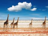 旷野上的长颈鹿
