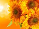 黄色背景向日葵