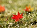 清晨草地上的枫叶
