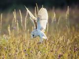捕食的雪鸮