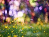 漫野的小黄花