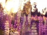 盛开的羽扇豆花