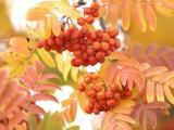 成熟的浆果