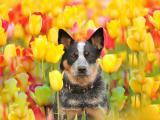 郁金香中的澳洲牧牛犬
