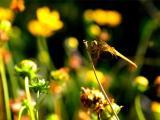 阳光中的蜻蜓