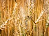 麦穗上的蜻蜓