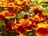 辛勤忙碌的蜜蜂