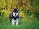 凶猛的阿拉斯加雪橇犬