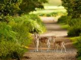 可爱梅花鹿