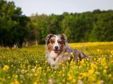 澳洲牧羊犬