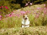 开心大笑的柯基犬