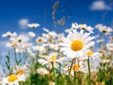 纯洁的雏菊