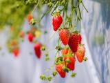 新鲜可口的草莓