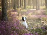 树林中的澳大利亚牧羊犬