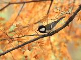 枫树上的小鸟
