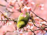 樱花中的绣眼鸟