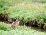 草地上的小灰兔