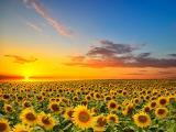 夕阳下的唯美向日葵花海