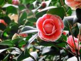盛开的茶花