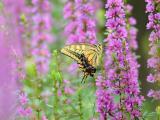 吃花蜜的蝴蝶