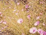 粉色牵牛花