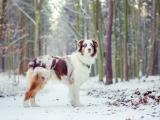 雪地里的澳大利亚牧羊犬