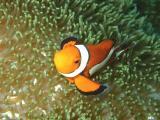 海底里的可爱小丑鱼