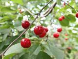 红通通的樱桃