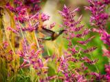 花丛中的蜂鸟