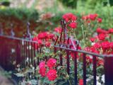 栅栏外的蔷薇