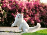 调皮的白色猫咪