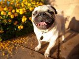 爱笑的哈巴狗