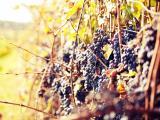 秋天丰收的葡萄